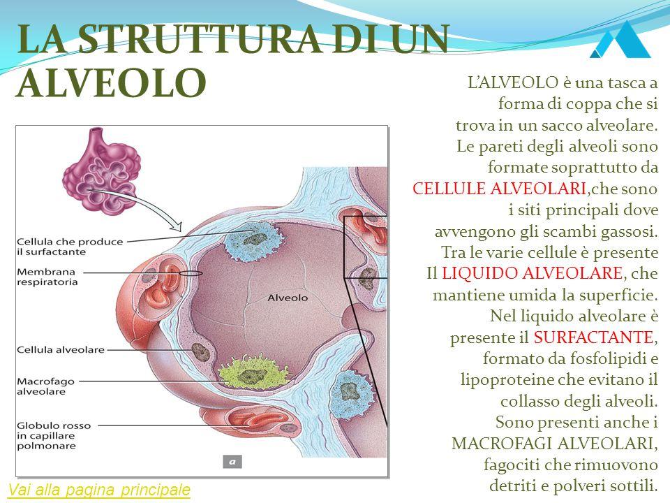 LA STRUTTURA DI UN ALVEOLO L'ALVEOLO è una tasca a forma di coppa che si trova in un sacco alveolare. Le pareti degli alveoli sono formate soprattutto