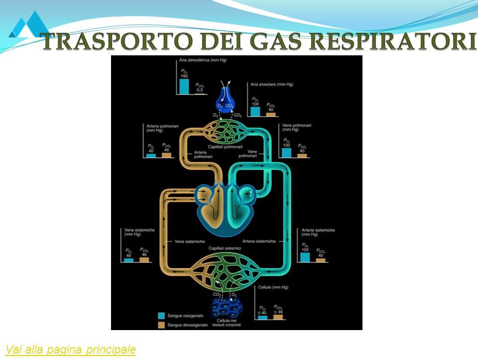 Attraverso il sangue i gas vengono trasportatati tra i polmoni e i tessuti corporei.