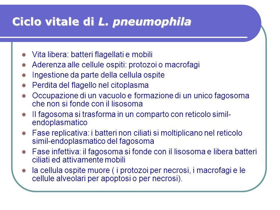 Ciclo vitale di L. pneumophila Vita libera: batteri flagellati e mobili Aderenza alle cellule ospiti: protozoi o macrofagi Ingestione da parte della c
