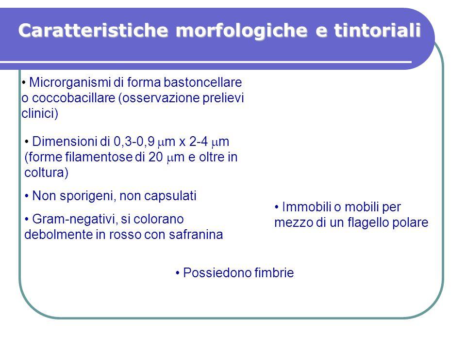 Caratteristiche morfologiche e tintoriali Dimensioni di 0,3-0,9  m x 2-4  m (forme filamentose di 20  m e oltre in coltura) Non sporigeni, non caps