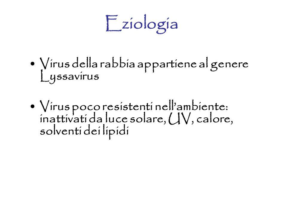 Eziologia Virus della rabbia appartiene al genere Lyssavirus Virus poco resistenti nell'ambiente: inattivati da luce solare, UV, calore, solventi dei lipidi