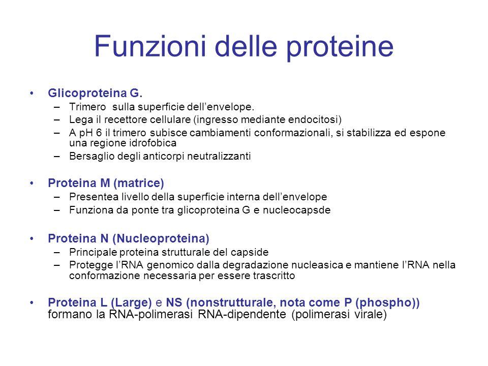 Funzioni delle proteine Glicoproteina G.–Trimero sulla superficie dell'envelope.