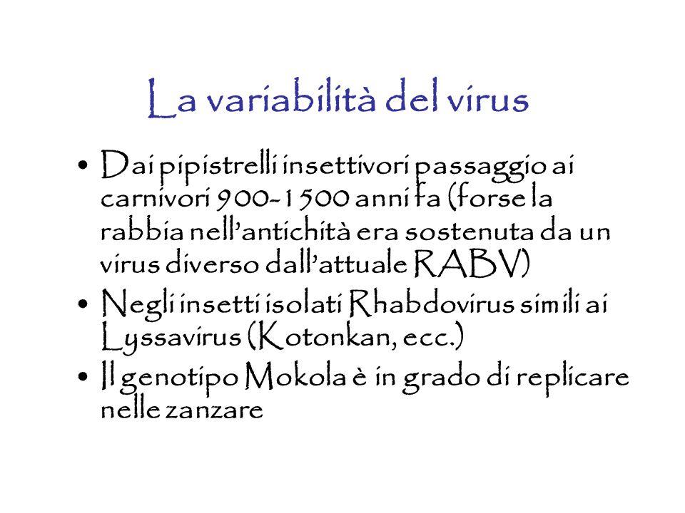 La variabilità del virus Dai pipistrelli insettivori passaggio ai carnivori 900-1500 anni fa (forse la rabbia nell'antichità era sostenuta da un virus diverso dall'attuale RABV) Negli insetti isolati Rhabdovirus simili ai Lyssavirus (Kotonkan, ecc.) Il genotipo Mokola è in grado di replicare nelle zanzare