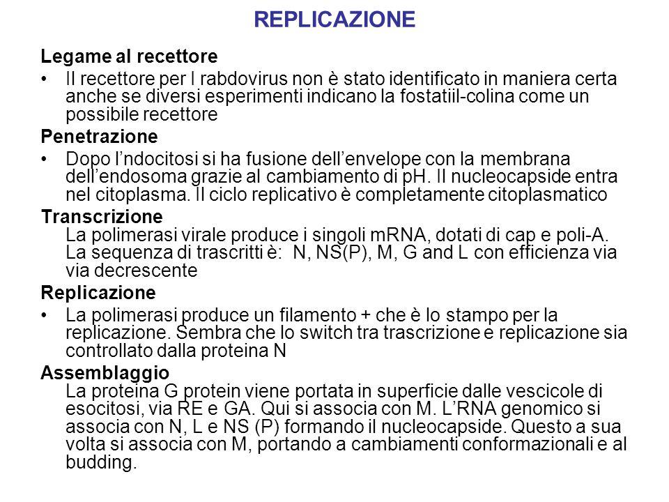 REPLICAZIONE Legame al recettore Il recettore per I rabdovirus non è stato identificato in maniera certa anche se diversi esperimenti indicano la fost