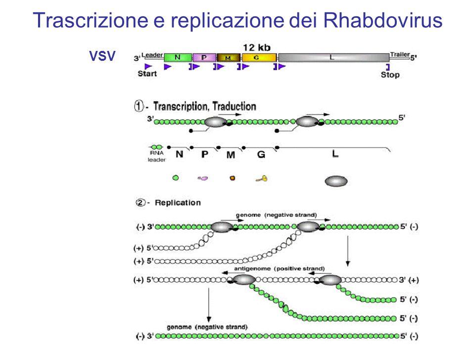 Patogenesi Replicazione locale (virus isolabile per tre gg., poi eclisse) Invasione del SNC (lungo i tronchi nervosi – 3mm/h) Migrazione centrifuga (esterno del SNC)