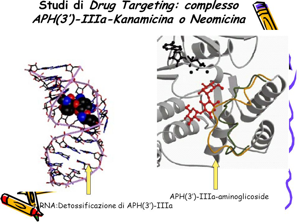 Studi di Drug Targeting: complesso APH(3')-IIIa-Kanamicina o Neomicina APH(3')-IIIa-aminoglicoside t-RNA:Detossificazione di APH(3')-IIIa