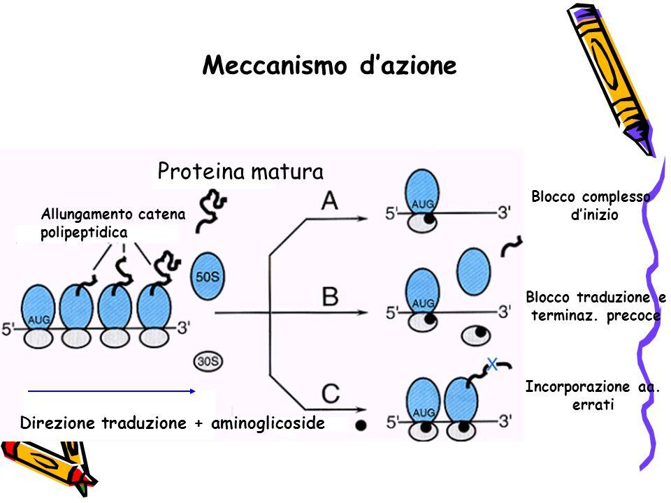 Meccanismo d'azione Proteina matura Allungamento catena polipeptidica Direzione traduzione + aminoglicoside Blocco complesso d'inizio Blocco traduzion