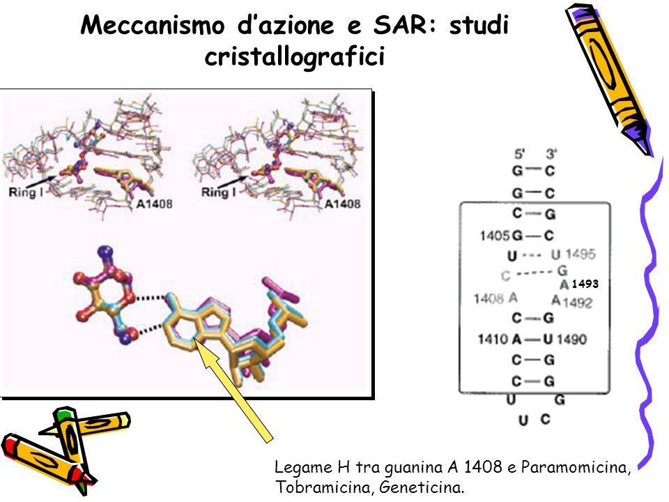 Meccanismo d'azione e SAR: studi cristallografici Legame H tra guanina A 1408 e Paramomicina, Tobramicina, Geneticina. 1493