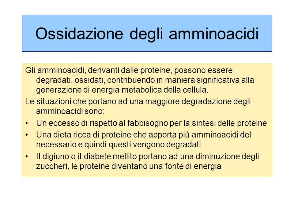 Ossidazione degli amminoacidi Gli amminoacidi, derivanti dalle proteine, possono essere degradati, ossidati, contribuendo in maniera significativa alla generazione di energia metabolica della cellula.