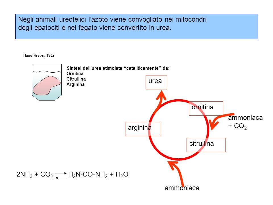 Negli animali ureotelici l'azoto viene convogliato nei mitocondri degli epatociti e nel fegato viene convertito in urea.