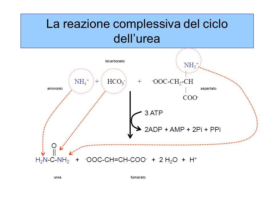 La reazione complessiva del ciclo dell'urea NH 3 + | NH 4 + + HCO 3 - + - OOC-CH 2 -CH | COO - O || H 2 N-C-NH 2 + - OOC-CH=CH-COO - + 2 H 2 O + H + ammonio bicarbonato aspartato ureafumarato 3 ATP 2ADP + AMP + 2Pi + PPi