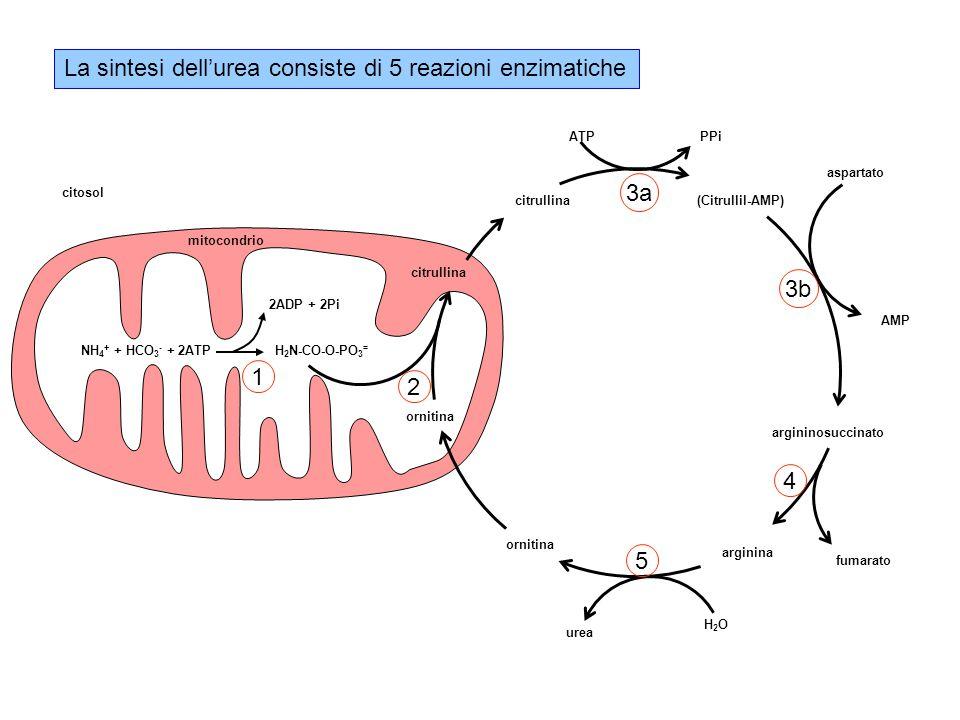 La sintesi dell'urea consiste di 5 reazioni enzimatiche NH 4 + + HCO 3 - + 2ATP H 2 N-CO-O-PO 3 = 2ADP + 2Pi citrullina ornitina citrullina arginina urea H2OH2O fumarato aspartato argininosuccinato (Citrullil-AMP) AMP PPiATP mitocondrio citosol 1 3a 4 5 3b 2
