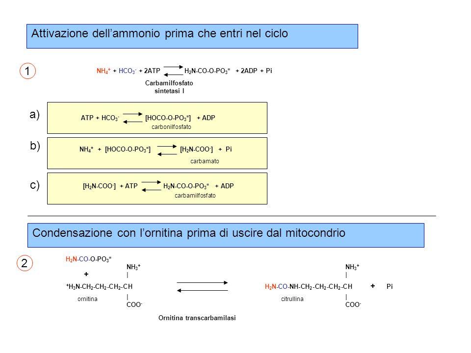 Attivazione dell'ammonio prima che entri nel ciclo NH 4 + + HCO 3 - + 2ATP H 2 N-CO-O-PO 3 = + 2ADP + Pi Carbamilfosfato sintetasi I a) b) c) ATP + HCO 3 - [HOCO-O-PO 3 = ] + ADP carbonilfosfato NH 4 + + [HOCO-O-PO 3 = ] [H 2 N-COO - ] + Pi carbamato [H 2 N-COO - ] + ATP H 2 N-CO-O-PO 3 = + ADP carbamilfosfato Ornitina transcarbamilasi H 2 N-CO-O-PO 3 = + H 3 N-CH 2 -CH 2 -CH 2 -CH NH 3 + | COO - + H 2 N-CO-NH-CH 2 -CH 2 -CH 2 -CH NH 3 + | COO - Pi + ornitinacitrullina Condensazione con l'ornitina prima di uscire dal mitocondrio 1 2