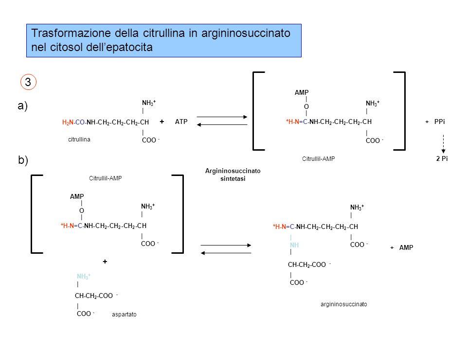 Trasformazione della citrullina in argininosuccinato nel citosol dell'epatocita H 2 N-CO-NH-CH 2 -CH 2 -CH 2 -CH NH 3 + | COO - + citrullina ATP AMP | O | + H-N=C-NH-CH 2 -CH 2 -CH 2 -CH NH 3 + | COO - Citrullil-AMP AMP | O | + H-N=C-NH-CH 2 -CH 2 -CH 2 -CH NH 3 + | COO - Citrullil-AMP + CH-CH 2 -COO - NH 3 + | COO - aspartato argininosuccinato + H-N=C-NH-CH 2 -CH 2 -CH 2 -CH NH 3 + | COO - | NH | COO - CH-CH 2 -COO - Argininosuccinato sintetasi a) b) 3 + PPi + AMP 2 Pi