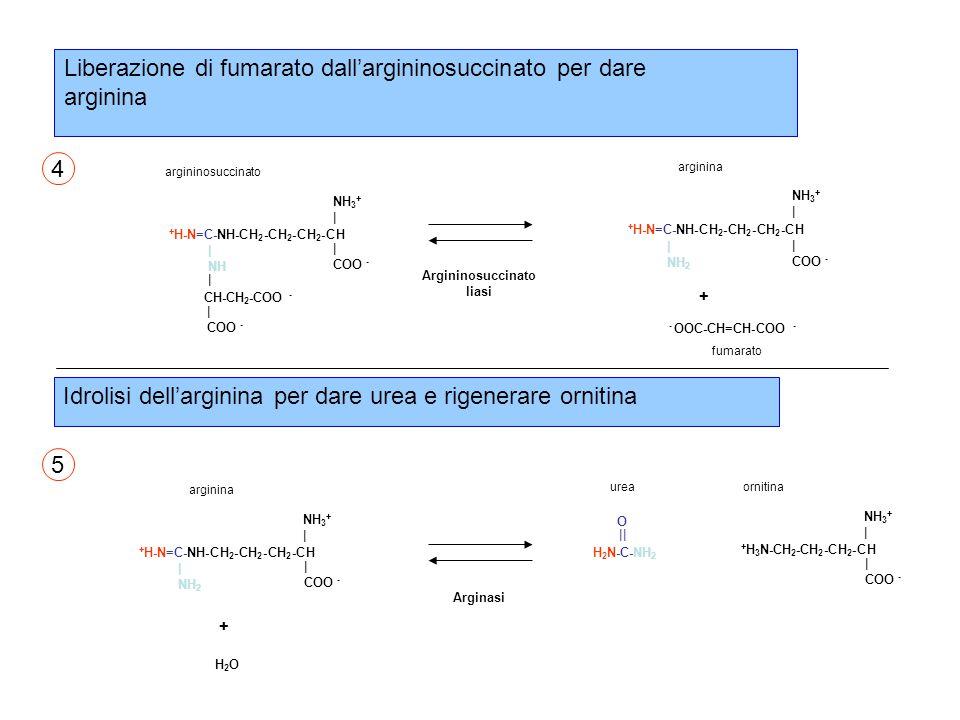 Liberazione di fumarato dall'argininosuccinato per dare arginina + H-N=C-NH-CH 2 -CH 2 -CH 2 -CH NH 3 + | COO - arginina | NH 2 - OOC-CH=CH-COO - + H-N=C-NH-CH 2 -CH 2 -CH 2 -CH NH 3 + | COO - argininosuccinato | NH | COO - CH-CH 2 -COO - fumarato + Argininosuccinato liasi 4 5 + H-N=C-NH-CH 2 -CH 2 -CH 2 -CH NH 3 + | COO - arginina | NH 2 Arginasi + H2OH2O + H 3 N-CH 2 -CH 2 -CH 2 -CH NH 3 + | COO - ornitina O || H 2 N-C-NH 2 urea Idrolisi dell'arginina per dare urea e rigenerare ornitina