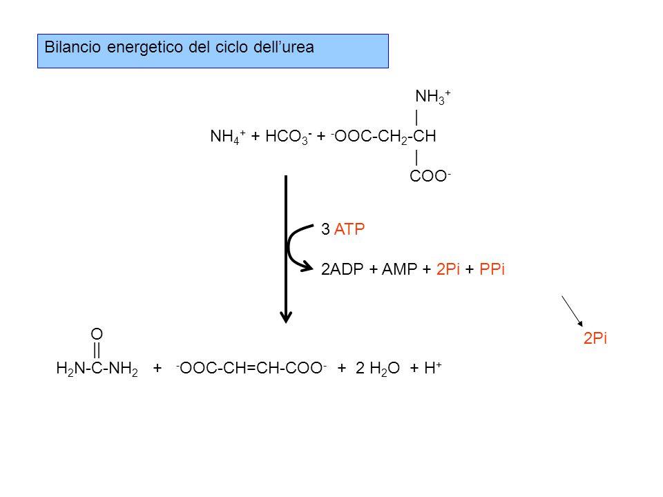 Bilancio energetico del ciclo dell'urea NH 3 + | NH 4 + + HCO 3 - + - OOC-CH 2 -CH | COO - O || H 2 N-C-NH 2 + - OOC-CH=CH-COO - + 2 H 2 O + H + 3 ATP 2ADP + AMP + 2Pi + PPi 2Pi