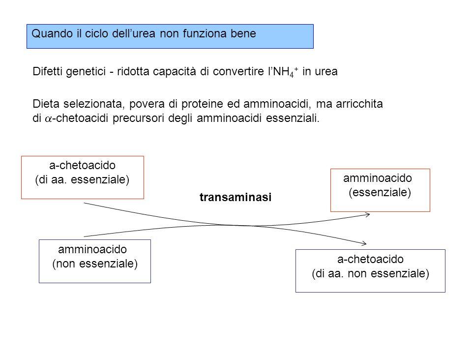 Quando il ciclo dell'urea non funziona bene Difetti genetici - ridotta capacità di convertire l'NH 4 + in urea Dieta selezionata, povera di proteine ed amminoacidi, ma arricchita di  -chetoacidi precursori degli amminoacidi essenziali.