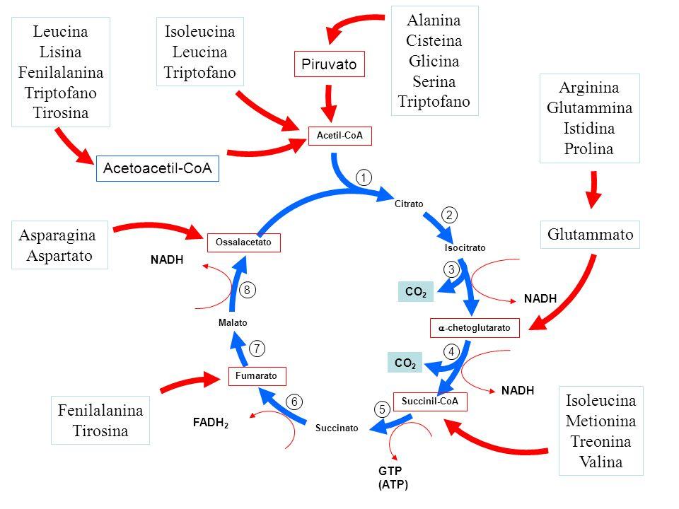 CO 2 Citrato Isocitrato  -chetoglutarato Succinil-CoA Succinato Fumarato Malato Ossalacetato Acetil-CoA FADH 2 GTP (ATP) NADH 1 2 3 4 5 6 7 8 Arginina Glutammina Istidina Prolina Glutammato Isoleucina Metionina Treonina Valina Fenilalanina Tirosina Piruvato Alanina Cisteina Glicina Serina Triptofano Isoleucina Leucina Triptofano Asparagina Aspartato Leucina Lisina Fenilalanina Triptofano Tirosina Acetoacetil-CoA