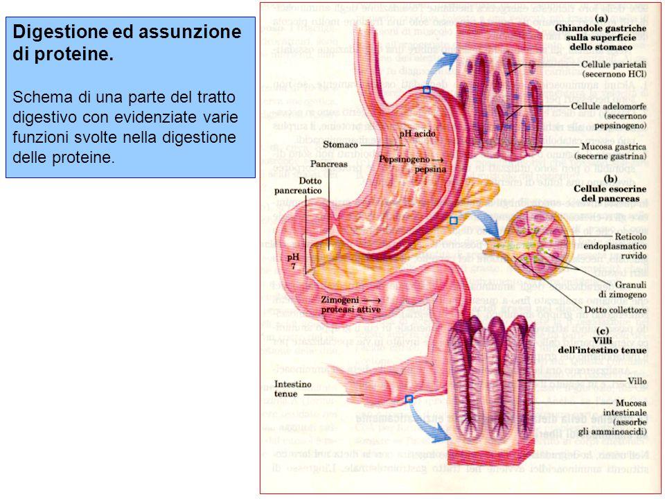 Digestione ed assunzione di proteine.