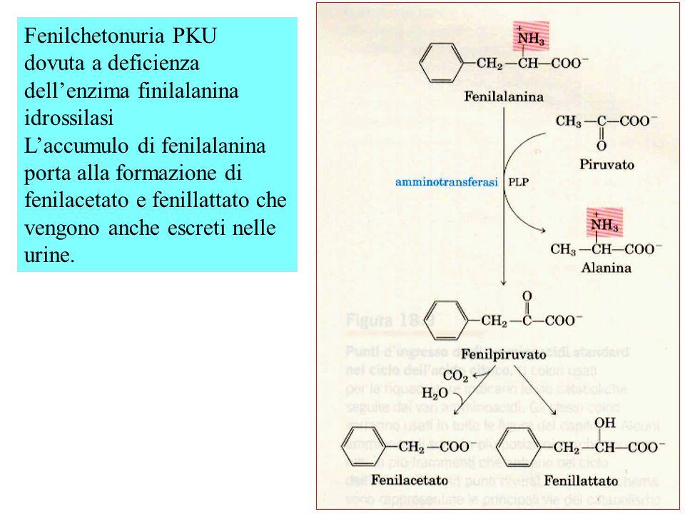 Fenilchetonuria PKU dovuta a deficienza dell'enzima finilalanina idrossilasi L'accumulo di fenilalanina porta alla formazione di fenilacetato e fenillattato che vengono anche escreti nelle urine.