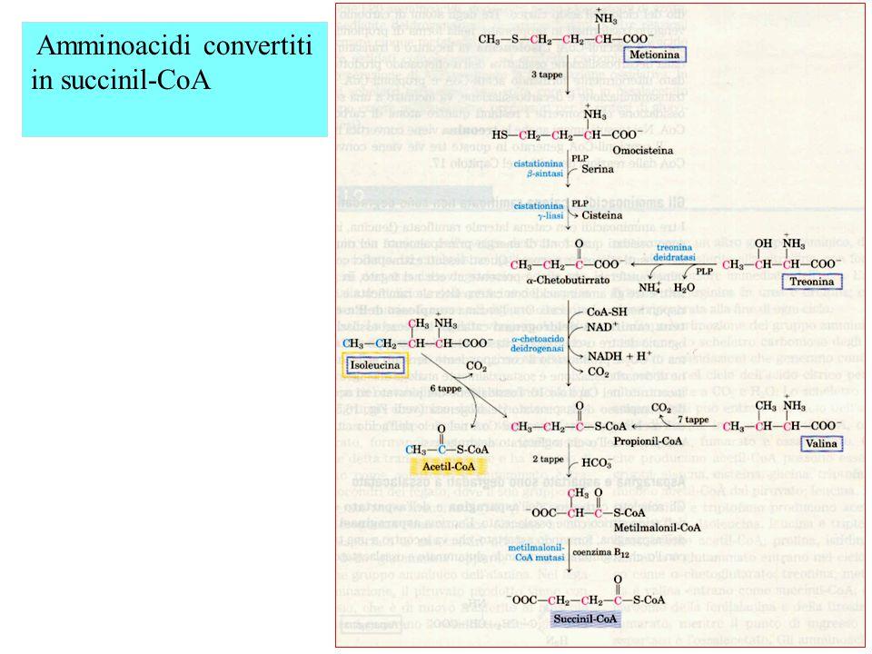 Amminoacidi convertiti in succinil-CoA