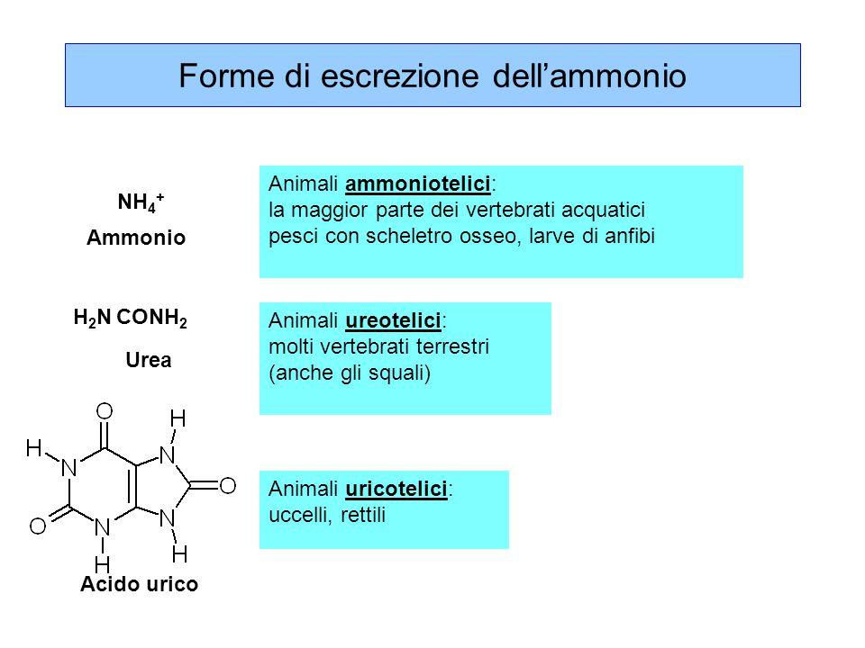 L'ammonio è tossico, la sua conversione in urea è confinata nel fegato amminoacidi  -chetoacidi  -chetoglutarato glutammato glutammina piruvato alanina NH 4 + urea L'ammoniaca libera è molto tossica Altera il pH, reagisce con gli intermedi dei cicli energetici alterandoli, ha effetti neurotossici.