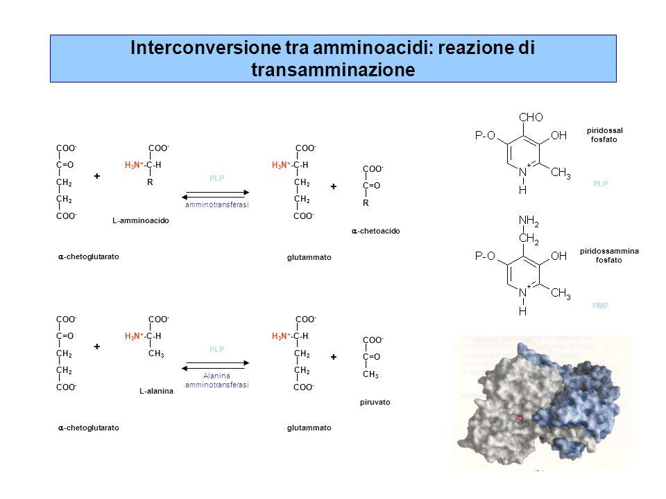 Interconversione tra amminoacidi: reazione di transamminazione COO - | C=O | CH 2 | CH 2 | COO - | H 3 N + -C-H | R COO - | H 3 N + -C-H | CH 2 | CH 2 | COO - | C=O | R + + PLP amminotransferasi  -chetoglutarato L-amminoacido glutammato  -chetoacido COO - | C=O | CH 2 | CH 2 | COO - | H 3 N + -C-H | CH 3 COO - | H 3 N + -C-H | CH 2 | CH 2 | COO - | C=O | CH 3 + + PLP Alanina amminotransferasi  -chetoglutarato L-alanina glutammato piruvato piridossal fosfato piridossammina fosfato PLP PMP