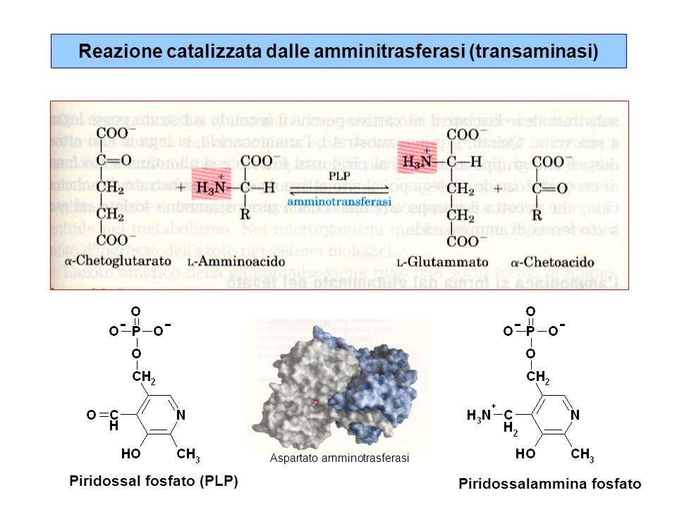 L'ammonio viene liberato anche dal glutammato COO -   C=O   CH 2   CH 2   COO - H 2 O COO -   H 3 N + -C-H   CH 2   CH 2   COO - NH 4 + + + glutammato deidrogenasi  -chetoglutarato glutammato NAD(P) + NAD(P)H + H + GTP ADP - + L'ammonio dei tessuti viene legato nella glutammina COO -   H 3 N + -C-H   CH 2   CH 2   COO - + ATP Glutammina sintetasi glutammato COO -   H 3 N + -C-H   CH 2   CH 2   O=C-OPO 3 = COO -   H 3 N + -C-H   CH 2   CH 2   O=C-NH 2 ADP NH 4 + Pi  -glutammil fosfato glutammina Glutammina sintetasi