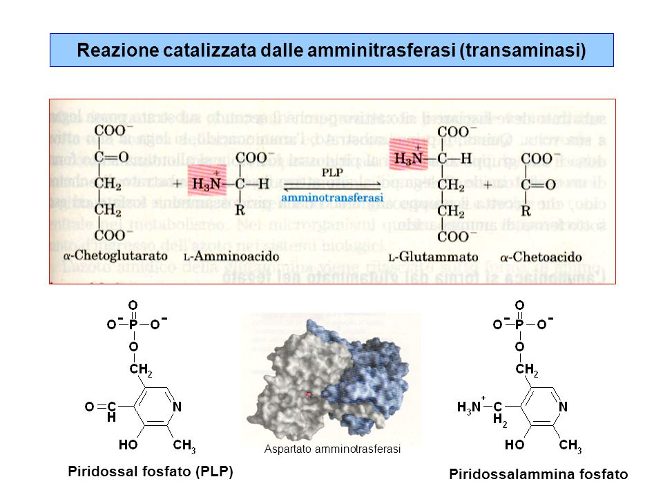 Reazione catalizzata dalle amminitrasferasi (transaminasi) Piridossal fosfato (PLP) Piridossalammina fosfato Aspartato amminotrasferasi