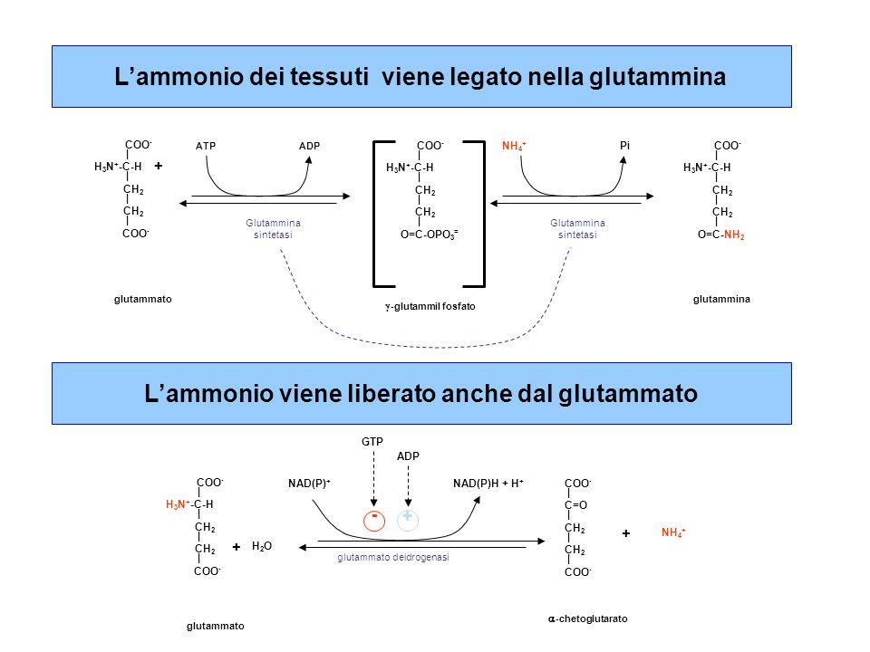L'ammonio viene liberato anche dal glutammato COO - | C=O | CH 2 | CH 2 | COO - H 2 O COO - | H 3 N + -C-H | CH 2 | CH 2 | COO - NH 4 + + + glutammato deidrogenasi  -chetoglutarato glutammato NAD(P) + NAD(P)H + H + GTP ADP - + L'ammonio dei tessuti viene legato nella glutammina COO - | H 3 N + -C-H | CH 2 | CH 2 | COO - + ATP Glutammina sintetasi glutammato COO - | H 3 N + -C-H | CH 2 | CH 2 | O=C-OPO 3 = COO - | H 3 N + -C-H | CH 2 | CH 2 | O=C-NH 2 ADP NH 4 + Pi  -glutammil fosfato glutammina Glutammina sintetasi