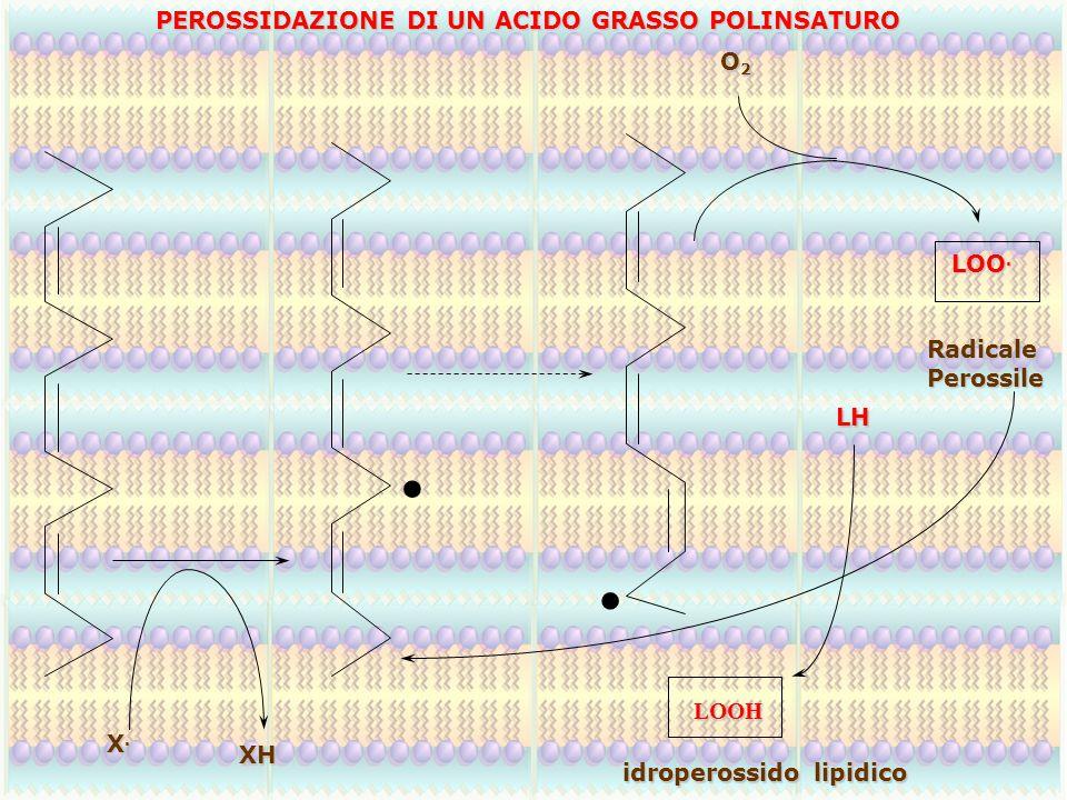 X.X.X.X. XH.. LOO. O2O2O2O2 LH LOOH RadicalePerossile idroperossido lipidico PEROSSIDAZIONE DI UN ACIDO GRASSO POLINSATURO