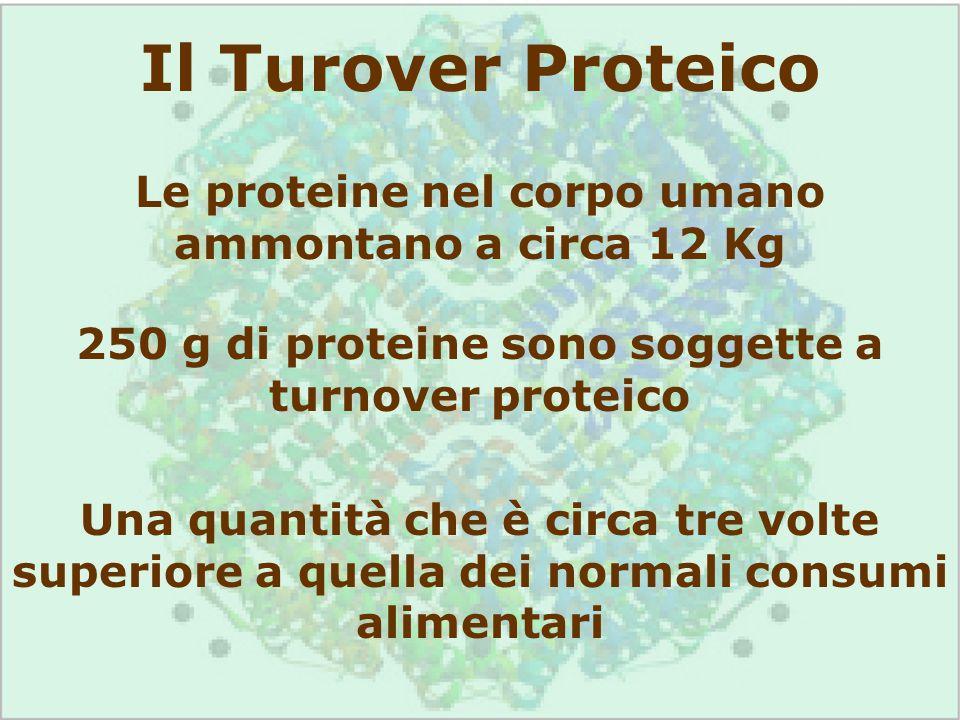 Il Turover Proteico Le proteine nel corpo umano ammontano a circa 12 Kg 250 g di proteine sono soggette a turnover proteico Una quantità che è circa t