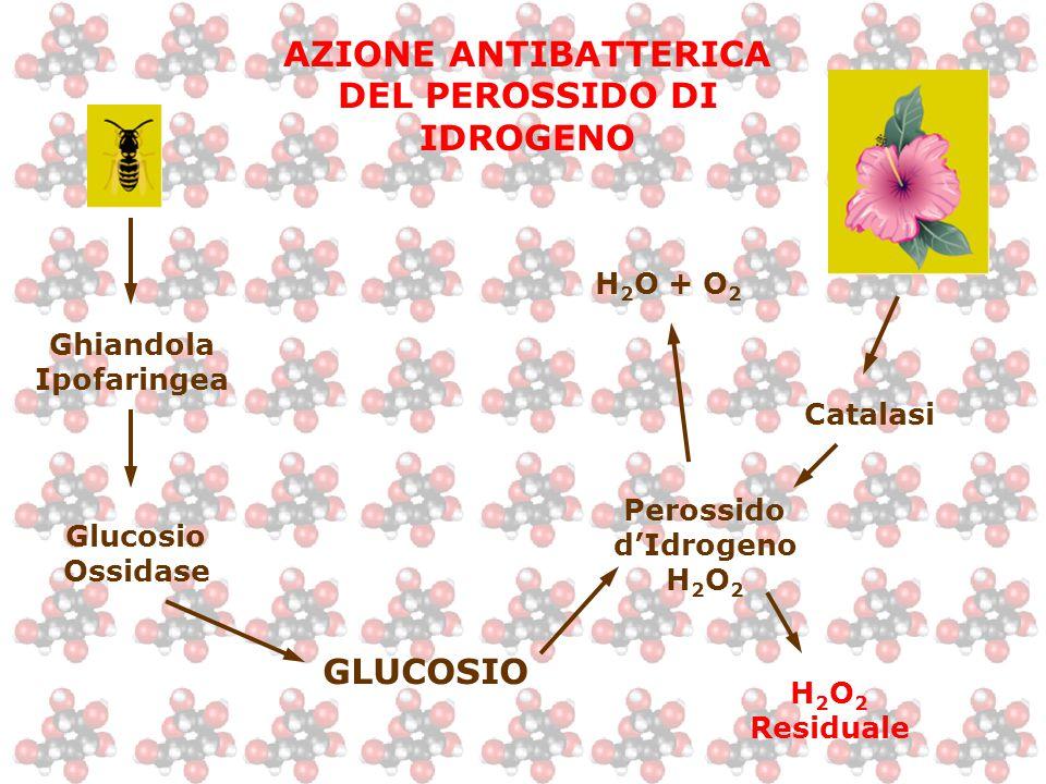AZIONE ANTIBATTERICA DEL PEROSSIDO DI IDROGENO Ghiandola Ipofaringea Glucosio Ossidase GLUCOSIO Perossido d'Idrogeno H 2 O 2 H 2 O + O 2 H 2 O 2 Resid