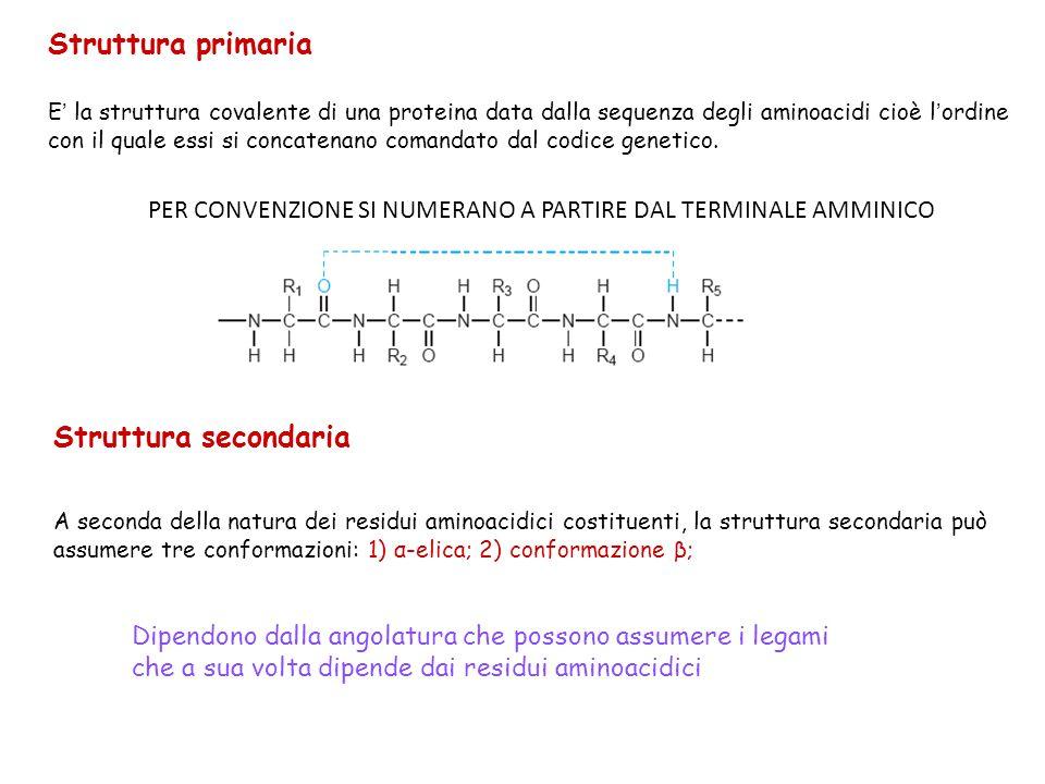Struttura primaria E ' la struttura covalente di una proteina data dalla sequenza degli aminoacidi cioè l ' ordine con il quale essi si concatenano co