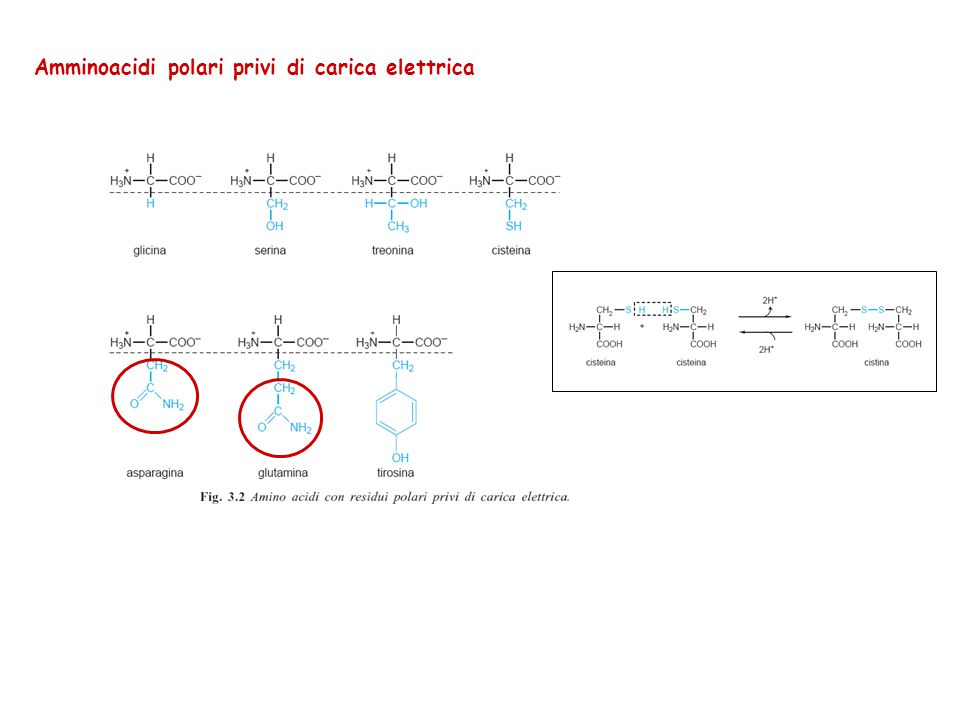 Amminoacidi polari privi di carica elettrica