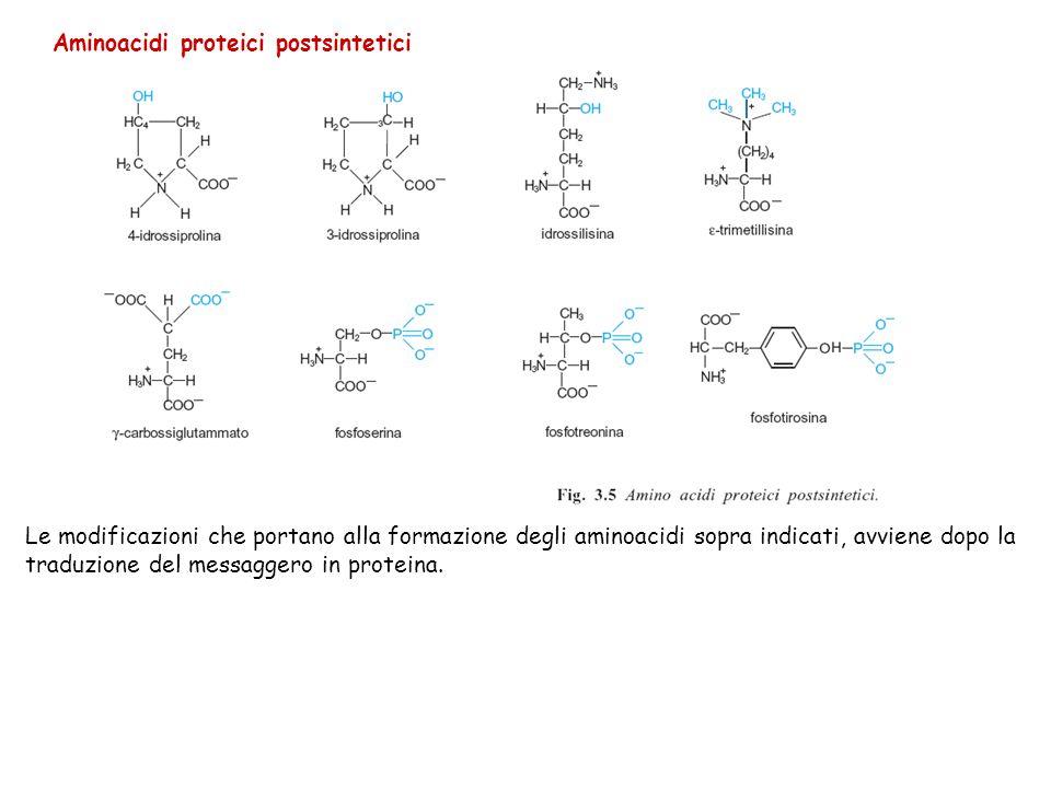 Aminoacidi proteici postsintetici Le modificazioni che portano alla formazione degli aminoacidi sopra indicati, avviene dopo la traduzione del messagg