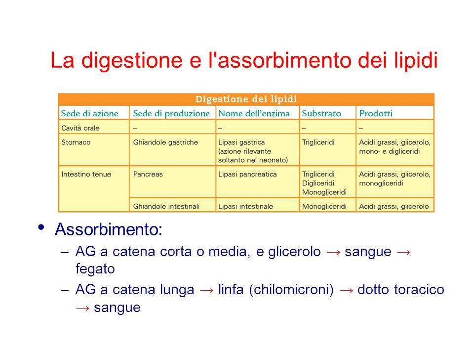 La digestione e l'assorbimento dei lipidi Assorbimento: –AG a catena corta o media, e glicerolo → sangue → fegato –AG a catena lunga → linfa (chilomic