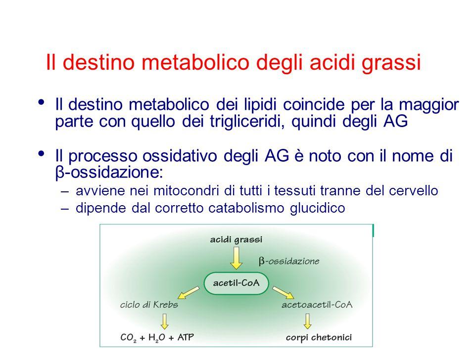 Il destino metabolico degli acidi grassi Il destino metabolico dei lipidi coincide per la maggior parte con quello dei trigliceridi, quindi degli AG I