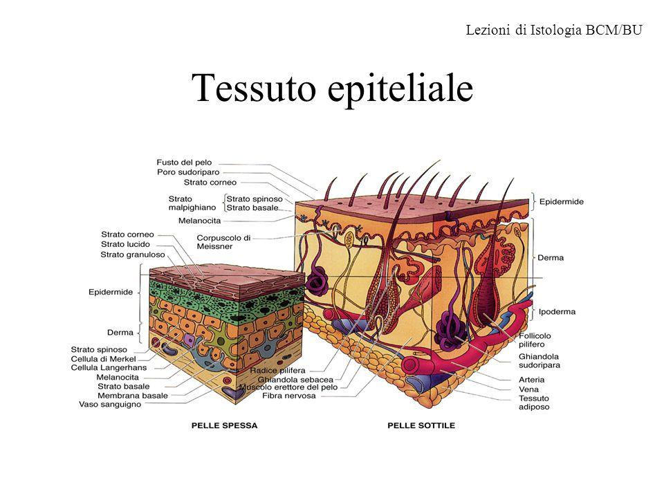 Tessuto epiteliale Lezioni di Istologia BCM/BU