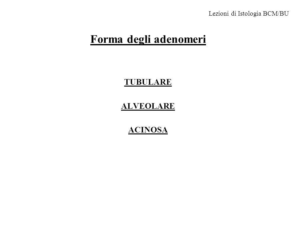 Forma degli adenomeri TUBULARE ALVEOLARE ACINOSA Lezioni di Istologia BCM/BU