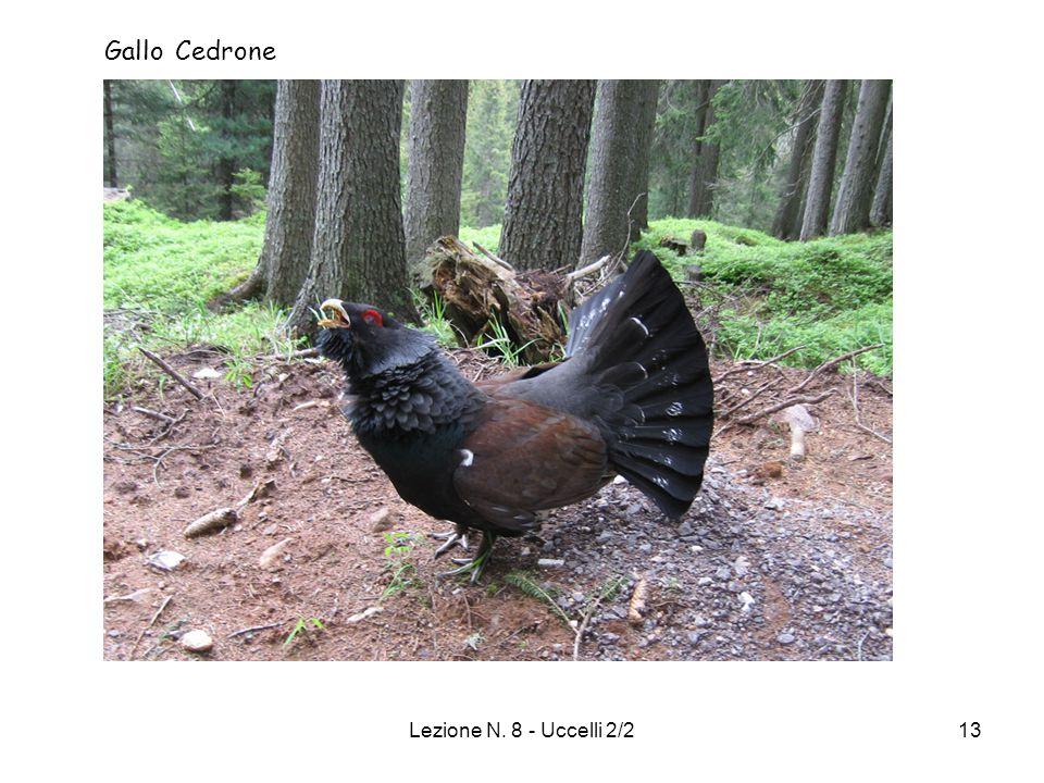 Lezione N. 8 - Uccelli 2/213 Gallo Cedrone