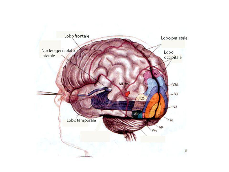 """Il """"cervello visivo"""" """"afferrare l'eterno in ciò che è disperatamente fugace"""" (T. Williams) Il cervello, per giungere alla conoscenza del mondo, cerca"""