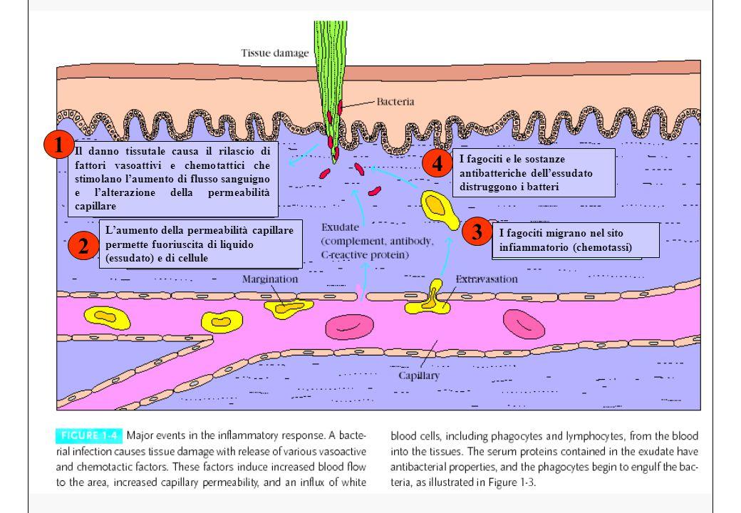 Il danno tissutale causa il rilascio di fattori vasoattivi e chemotattici che stimolano l'aumento di flusso sanguigno e l'alterazione della permeabili