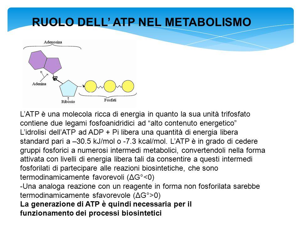 """L'ATP è una molecola ricca di energia in quanto la sua unità trifosfato contiene due legami fosfoanidridici ad """"alto contenuto energetico"""" L'idrolisi"""
