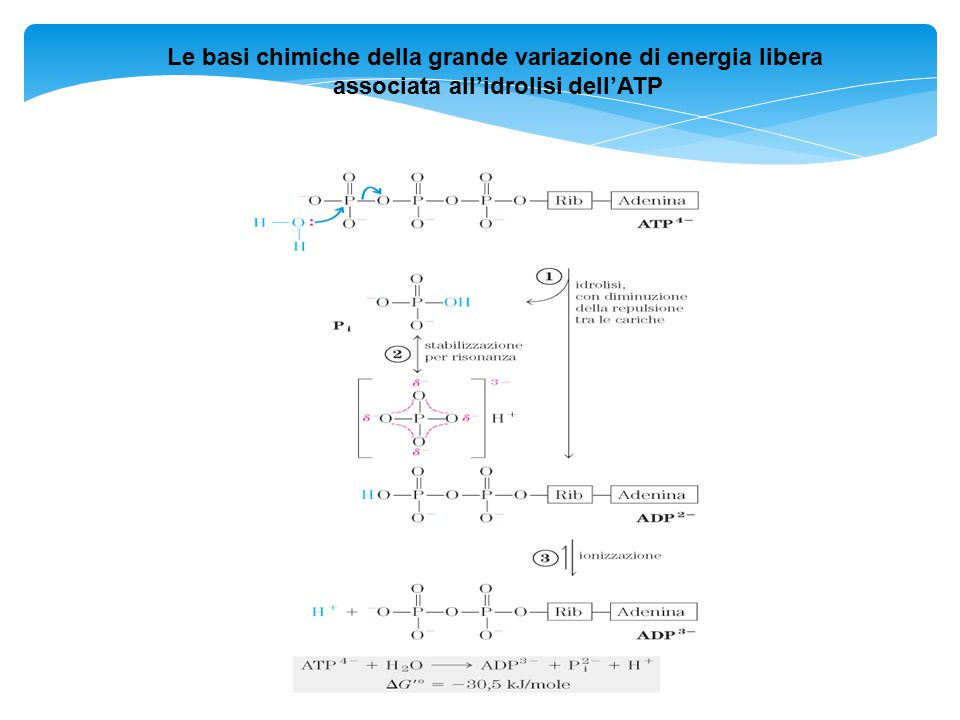 Le basi chimiche della grande variazione di energia libera associata all'idrolisi dell'ATP
