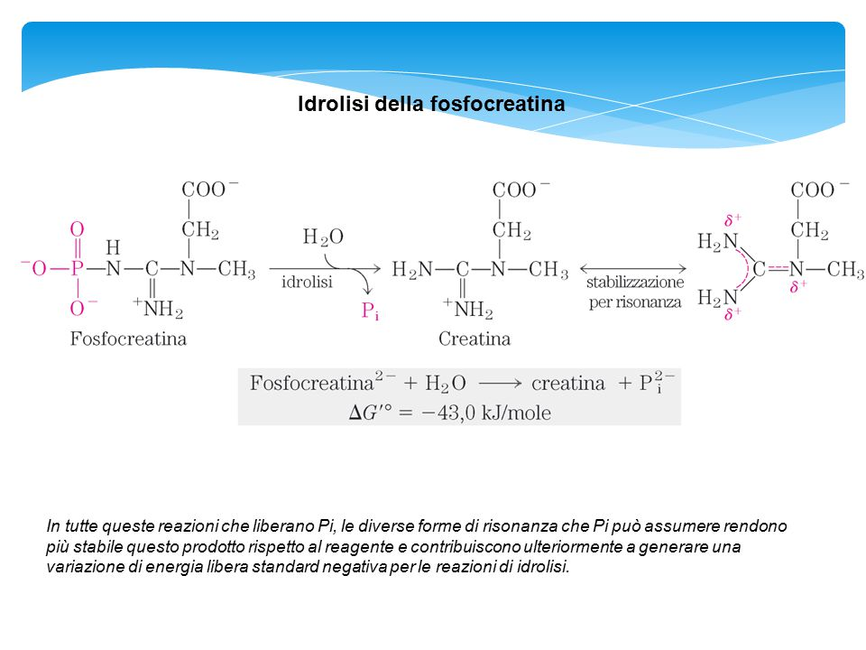 Idrolisi della fosfocreatina In tutte queste reazioni che liberano Pi, le diverse forme di risonanza che Pi può assumere rendono più stabile questo pr