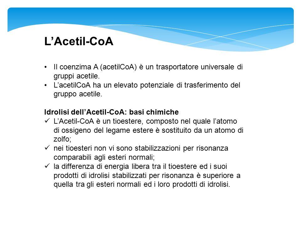 L'Acetil-CoA Il coenzima A (acetilCoA) è un trasportatore universale di gruppi acetile. L'acetilCoA ha un elevato potenziale di trasferimento del grup