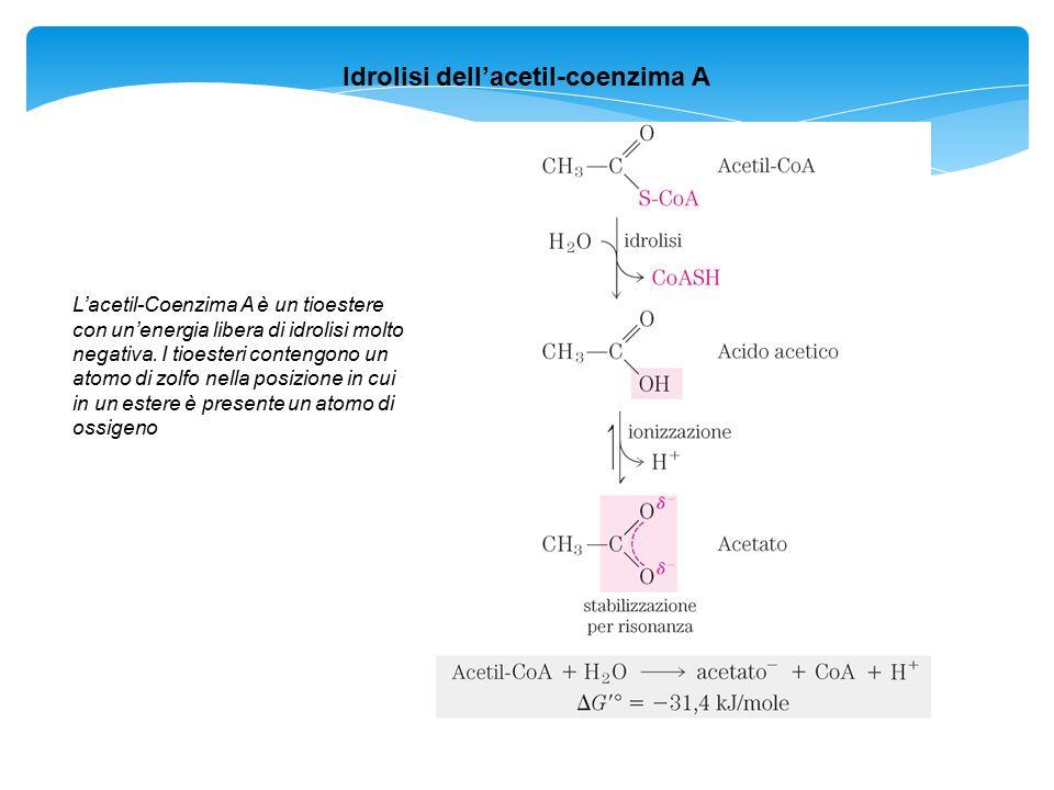 Idrolisi dell'acetil-coenzima A L'acetil-Coenzima A è un tioestere con un'energia libera di idrolisi molto negativa. I tioesteri contengono un atomo d