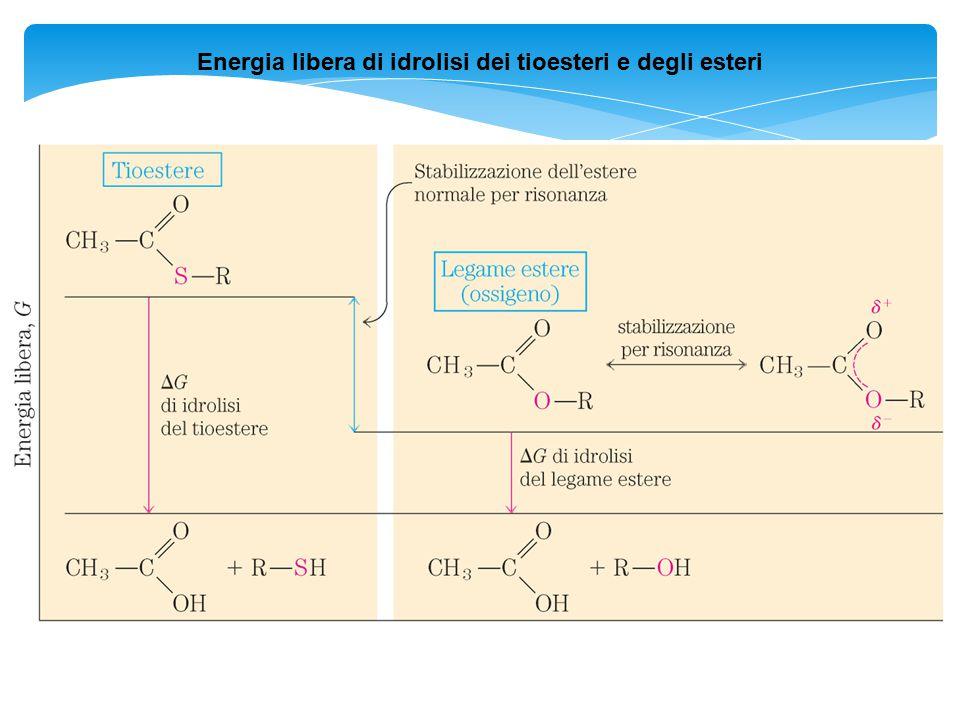 Energia libera di idrolisi dei tioesteri e degli esteri