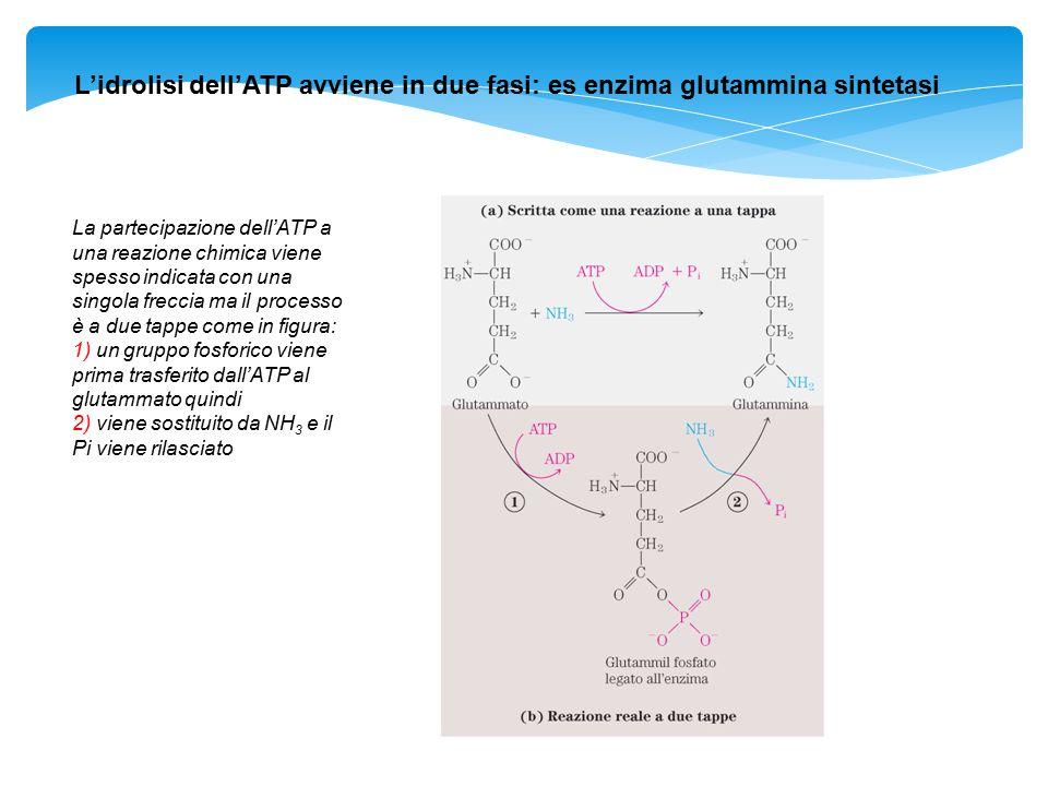 L'idrolisi dell'ATP avviene in due fasi: es enzima glutammina sintetasi La partecipazione dell'ATP a una reazione chimica viene spesso indicata con un